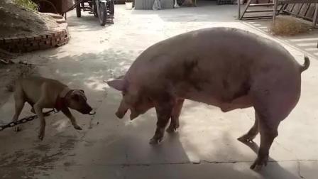 猪与狗大战, 结局真是令人意想不到