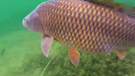 钓大鱼之鲤鱼中钩的高清视频