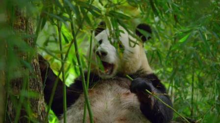 """地球上最稀有的动物之一""""大熊猫""""这个纪录片让我学会""""珍惜"""""""