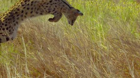 清晨的时间属于早起者, 薮[sǒu]猫寻找猎物, 这个记录片真美