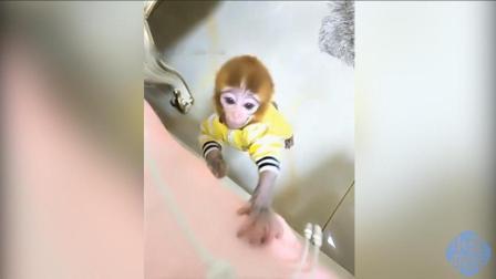 女子养了只小猴子, 好像3、4岁小孩一样可爱