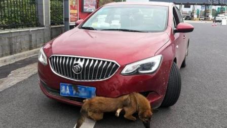 开车撞了别人家的狗算交通事故吗? 我国法律是这么规定的, 别吃亏