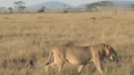 非洲二哥鬣狗大战狮子, 成功逆袭捕杀狮子? 厉害了!