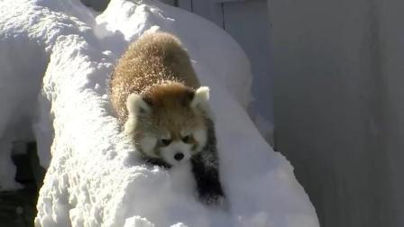 萌萌的小熊猫在雪里玩的好开心