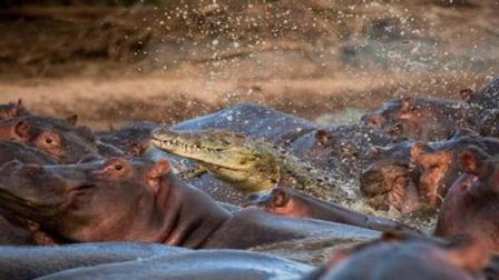 一群鳄鱼和一群河马打架, 到底谁会赢? 结果你绝对猜不到