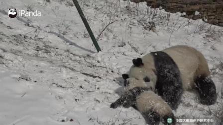 熊猫宝宝在雪地里玩的不亦乐乎