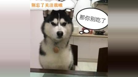 哈士奇咋都不愿意起床, 主人说吃饭了, 狗狗的反应亮了