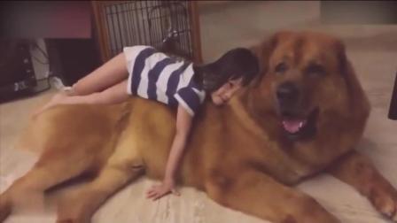 陪伴小主人一起长大的金毛狗狗, 谁还能说她不懂人性?