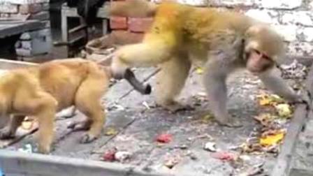 狗狗: 这猴子太贱了, 都要把我逼疯了, 谁来救救我!