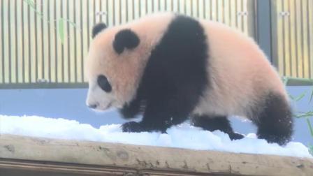 在日本动物园的熊猫宝宝在雪里跑来跑去