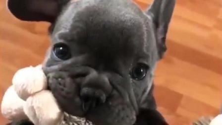小法斗犬因为太小了, 带着自己的小玩具上不了沙发, 好急好气