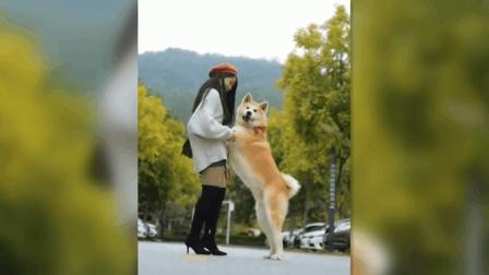 为什么日本女生都喜欢秋田犬? 看完这个视频你就明白了
