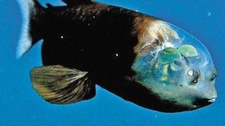 深海透明海怪惊呆生物学家!