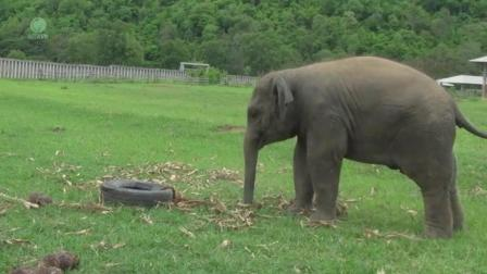 大象对轮胎十分兴趣, 独自玩了一天, 太嗨了