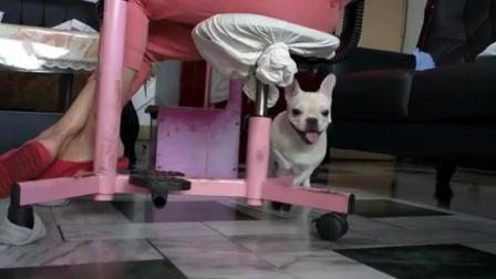 法国斗牛犬纯种 纯种法斗犬图片 斗牛犬性格怎么样