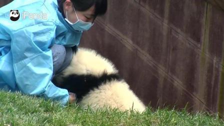 萌萌的熊猫宝宝要帮饲养员忙