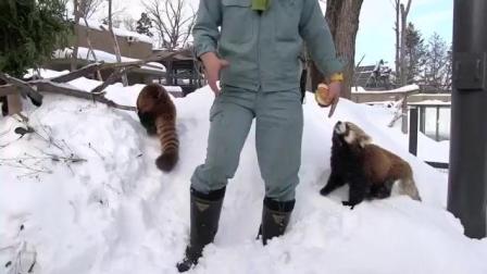 小熊猫在雪里玩耍
