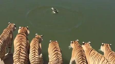 虎: 兄弟们今晚加餐