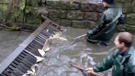 钓鱼: 国外鱼成灾, 排水渠里面全是鱼, 一天抓了几百斤!