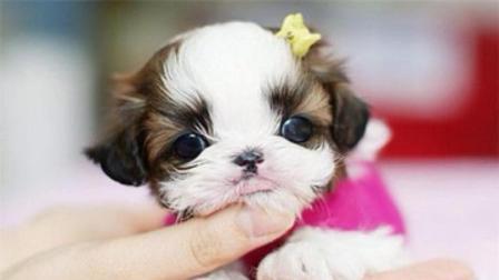 世界上最小的狗子, 全身不到10厘米, 等我卖了二哈就养它!