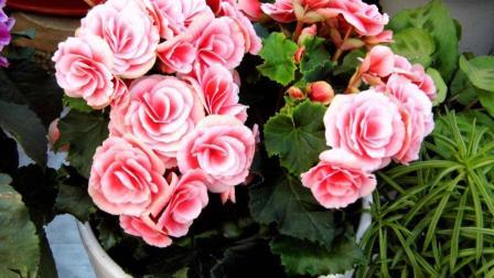 用这2样东西来养花, 花卉不烂根不黄叶, 叶片肥亮年年开花爆盆