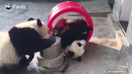 熊猫宝宝喜欢在桶里面滚来滚去