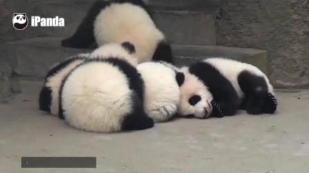 萌萌的熊猫宝宝摔倒都这么可爱