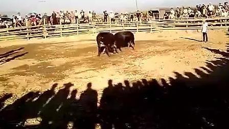 精彩实拍斗牛, 黑牛王对战允门牛王比赛, 场面太壮观!