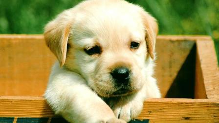 拉布拉多被很多人评为狗狗中最乖的,你服吗?不服用力怼!