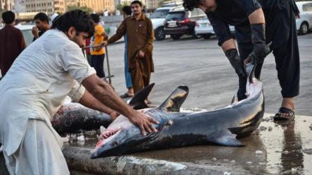 实拍迪拜土豪级菜市场 遍地天价海鲜 鲨鱼整只卖