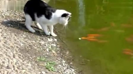 猫咪想吃河边的鱼, 突然一只大鱼冲天而起