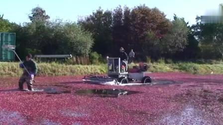 全世界都爱吃的蔓越莓, 收割方式让你意向不到