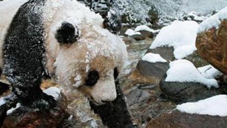 """搞笑, 海拔4800米的雪山上出现了一只""""大熊猫"""", 这是迷路了么"""