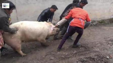快过年了一首《杀猪刀》送给大家, 农村都是这样杀猪的, 你见过吗