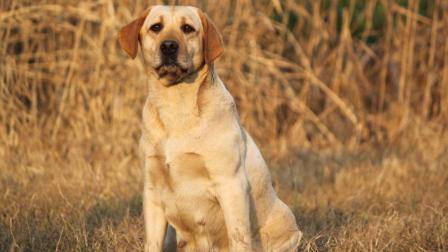 这只狗聪明战斗力强, 秒杀藏獒, 哈士奇, 金毛犬! 给多少钱也不卖!