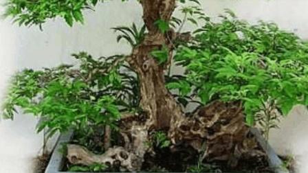 邻居老王用山上挖的树桩做成盆景, 想不到邻居们对他竖起大拇指