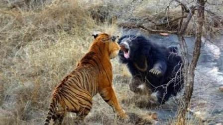 能抗衡东北虎单挑的动物有哪些? 雄狮巨蟒棕熊和这货