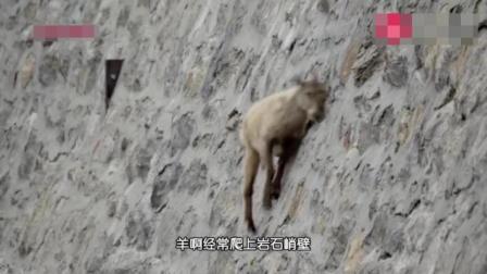 羊可以上墙? 它是是怎么上去的
