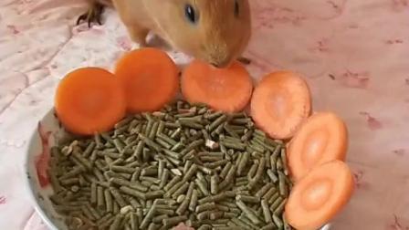可爱荷兰猪吃食物