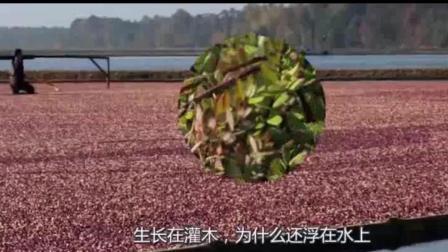 蔓越莓长在水里的? 蔓越莓收割方式让你意想不到, 简直太美了