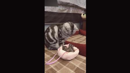 猫咪看着自己面前的, 两个老鼠崽儿, 直接懵逼了!