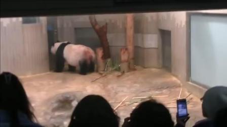 熊猫妈妈对熊猫宝宝爱护有加