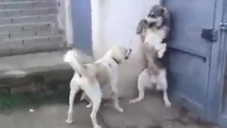 哈士奇打喷嚏吓着小狗了, 下一秒被母狗凶的怀疑狗生