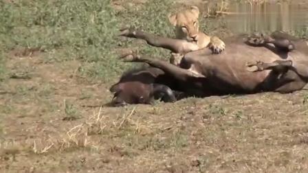狮子袭击老牛王, 牛王倒地, 他的儿子率领牛群前来救父!