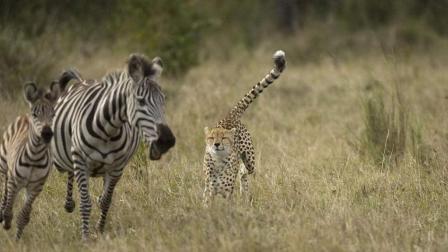 猎豹突然袭击小斑马, 斑马妈妈上前就是一脚, 让你欺负我宝宝