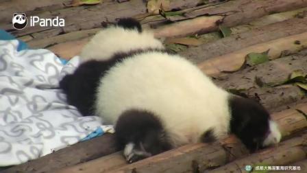 熊猫就是爱卖萌太有趣了