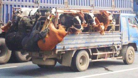 这个司机真牛啊, 货车上装这么多头牛上路, 就不怕被交警查吗