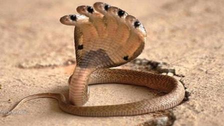 印度神庙的五头蛇, 到底有多少厉害?