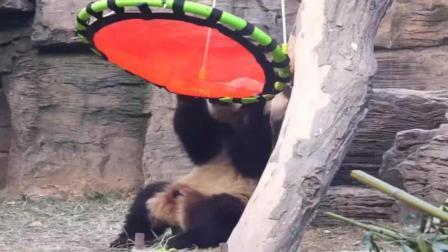 大熊猫萌兰 么么儿咬吊床 战斗力max