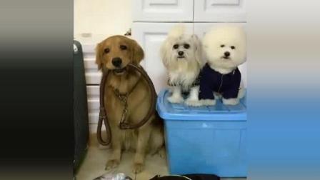 主人打包行李回老家了, 金毛轮胎带着弟弟妹妹和行李要一起出发